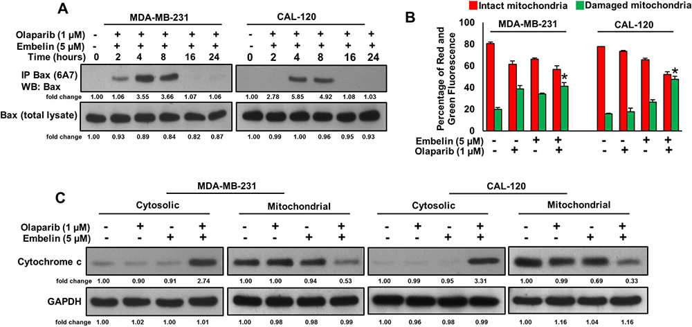 Olaparib and embelin synergistically induces mitochondrial apoptotic pathway in BC cells.