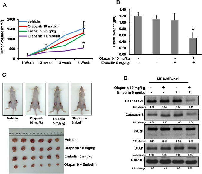 Olaparib and embelin synergistically inhibits the growth of MDA-MB-231 xenografts.