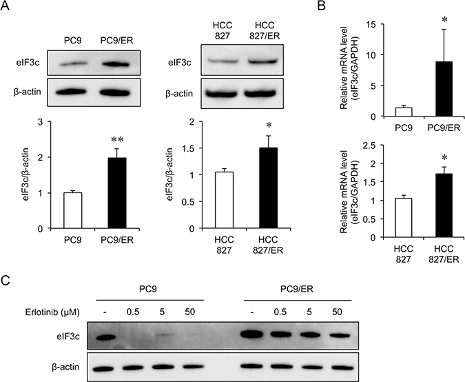 eIF3c increased in the EGFR-TKI resistant cell lines.