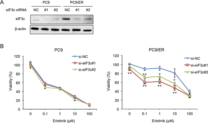 Knockdown of eIF3c expression enhanced erlotinib sensitivity in the EGFR-TKI resistant cell.