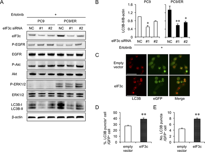 Autophagy activity was dependent on eIF3c expression level.