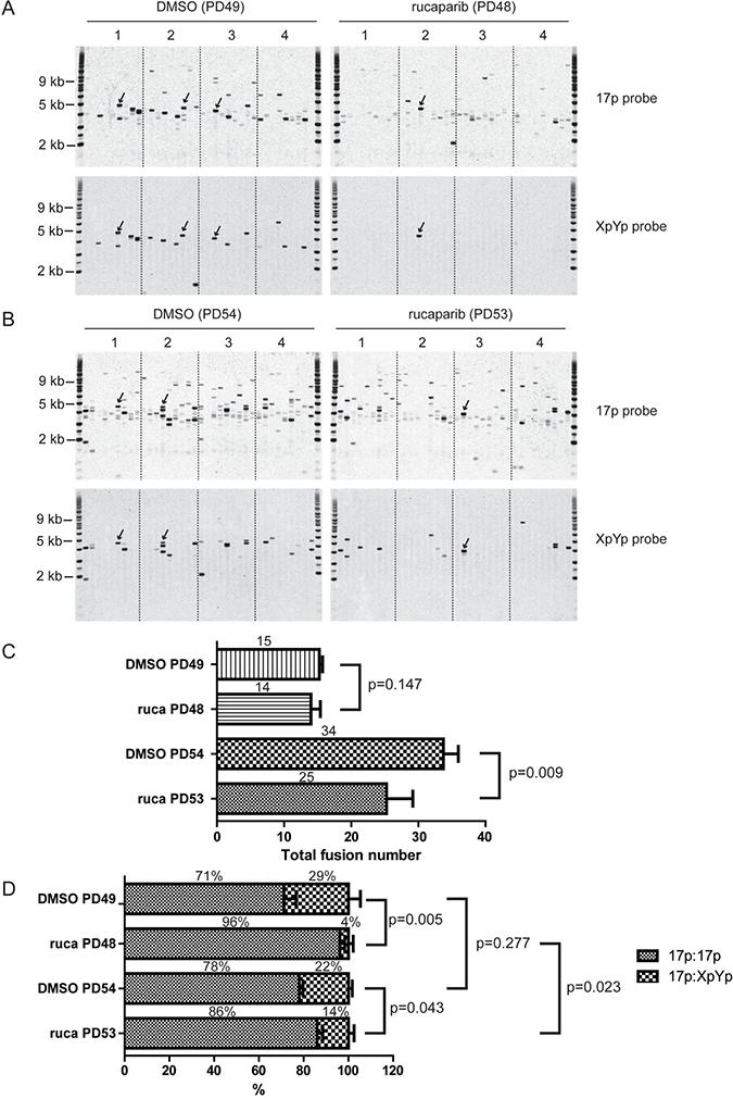 PARPi increases intra-chromosomal telomere fusion.