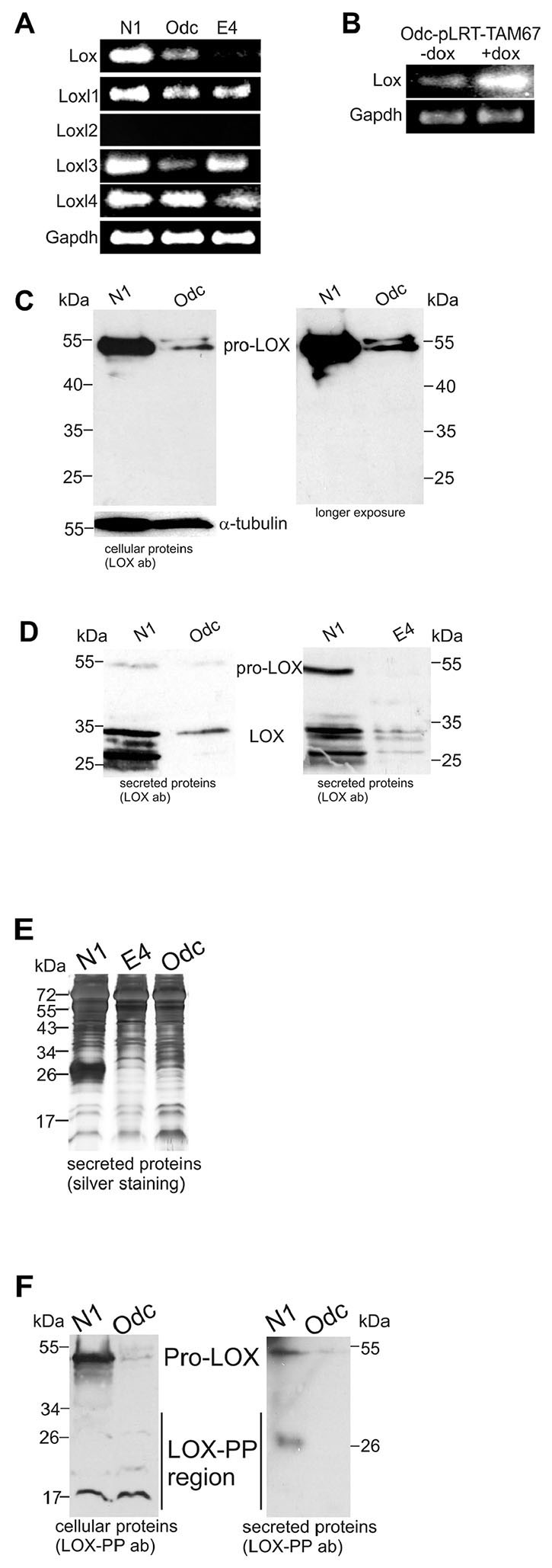 Expression levels of Lox and Lox-like1-4 in normal (N1), ODC-transformed (Odc), and Ras-transformed (E4) mouse fibroblasts.