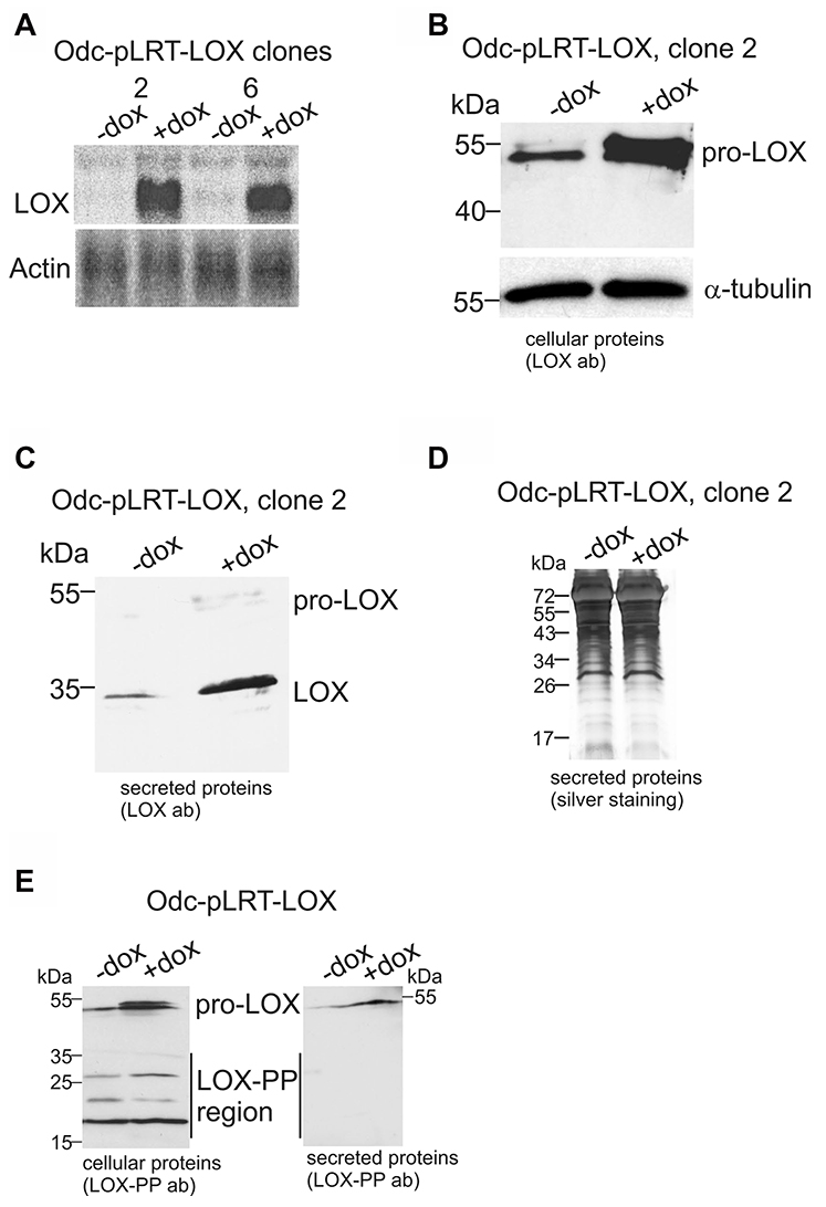 Ectopic expression of LOX in Odc cells by using tetracycline-inducible system.