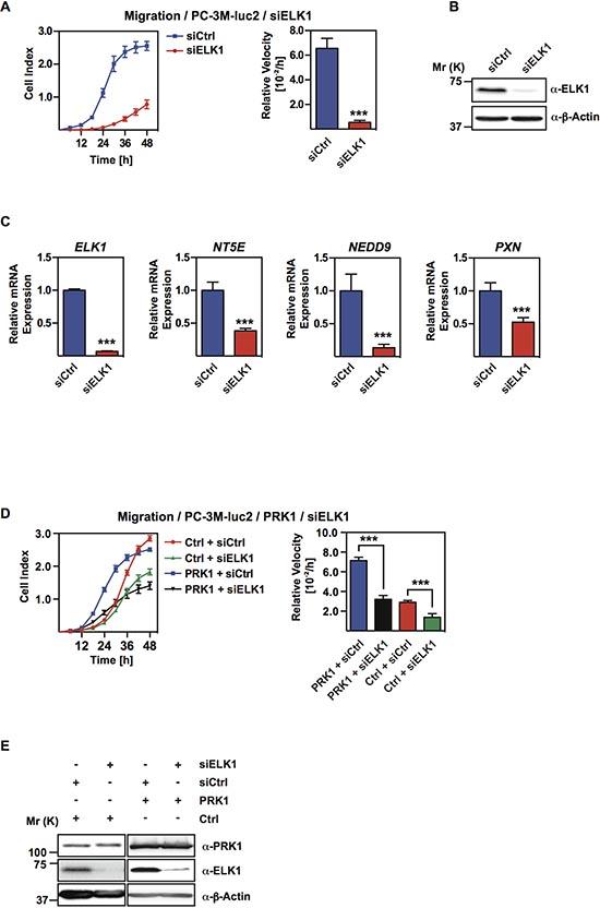 ELK1 regulates migration and occupies PRK1-regulated genes.