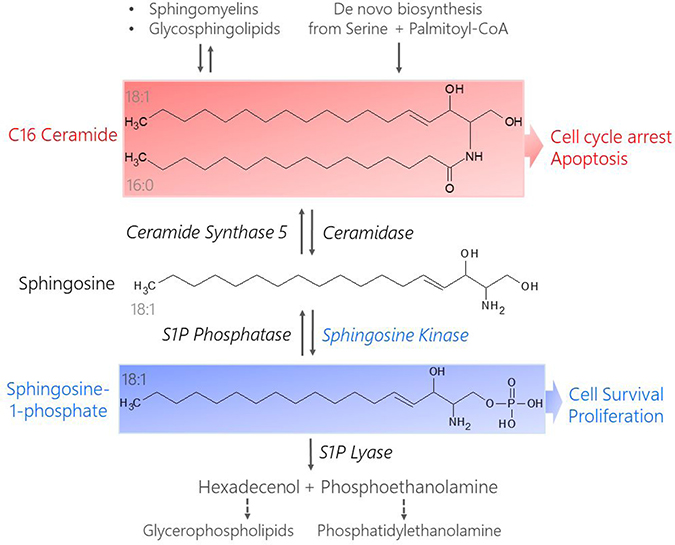 Structures and metabolism of pro-apoptotic C16 Cer and pro-survival S1P.