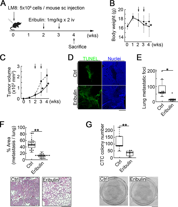 Intravenous eribulin injection in a syngeneic mouse osteosarcoma metastasis model.