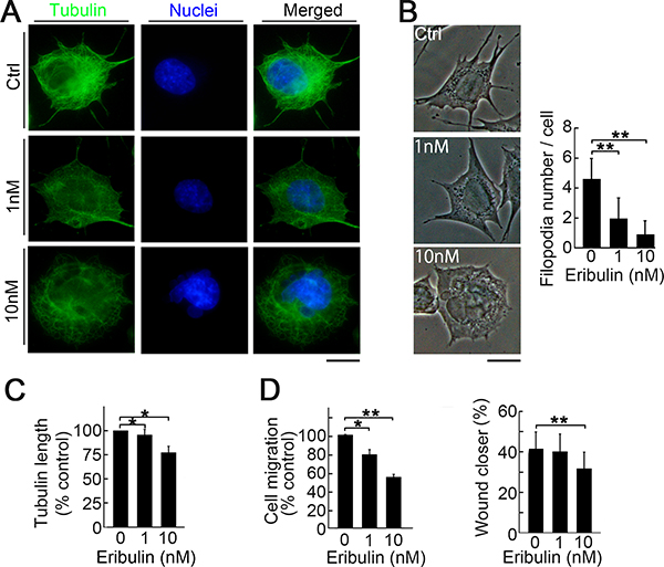 Induction of morphological change and suppression of migration by low eribulin concentrations.