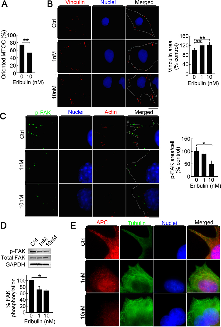 Reduction of directionality and focal adhesion turnover by low eribulin concentrations.
