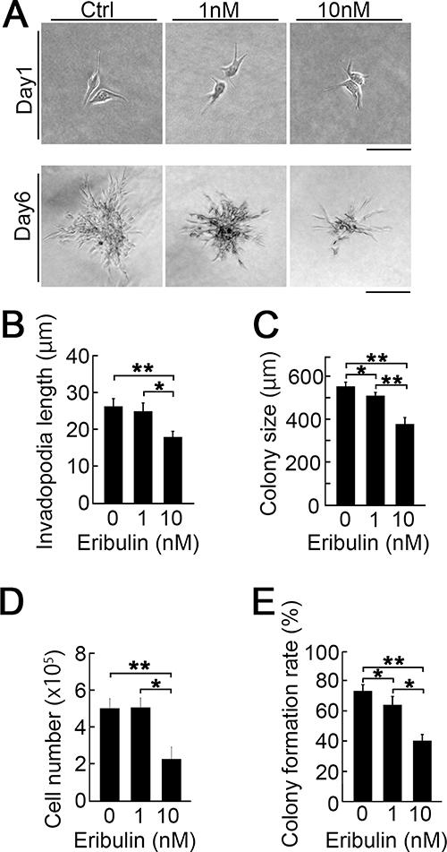 Effect of eribulin on the collagen 3D culture.