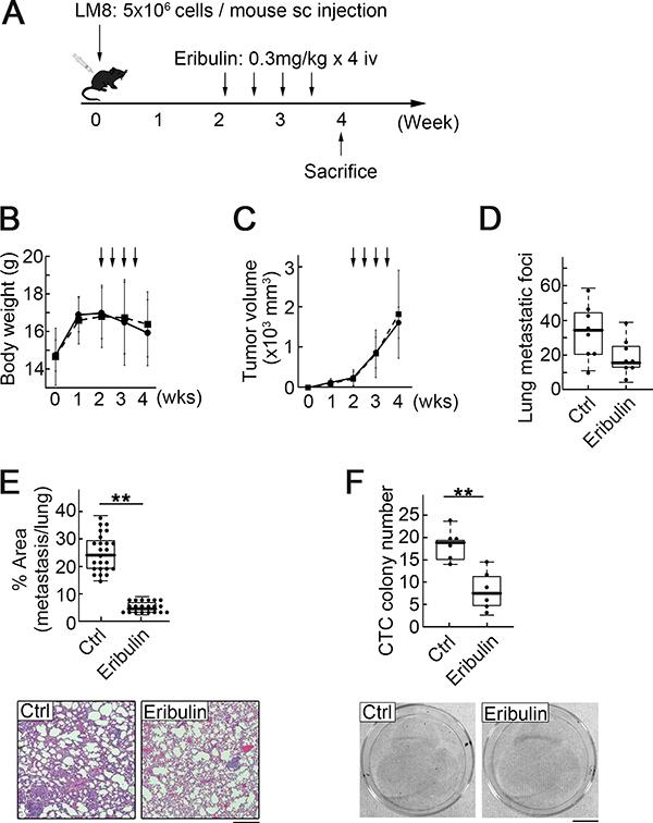 Low-dose eribulin inhibited pulmonary metastasis and CTC colony number.