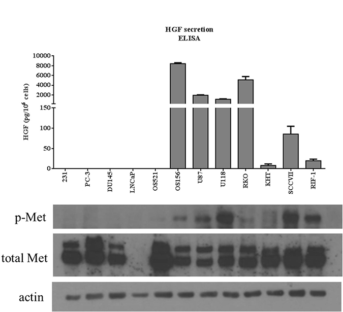 Comparison between HGF secretion and phosphorylation of c-Met.