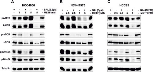 AMPK signaling in NSCLC HCC4006, NCI-H1975 and HCC95 cell lines upon METF and SAL combinatorial treatment.