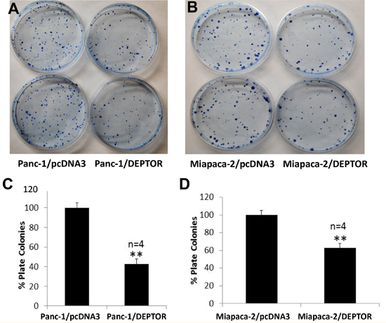DEPTOR expression inhibits clonogenic survival of PDAC cells.