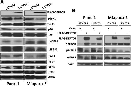 DEPTOR expression inhibits mTORC1 activity in PDAC cells.