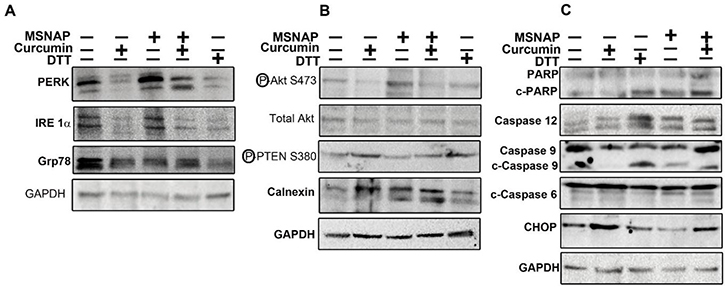 Signalling induced by intracellular released curcumin from MSNAP.