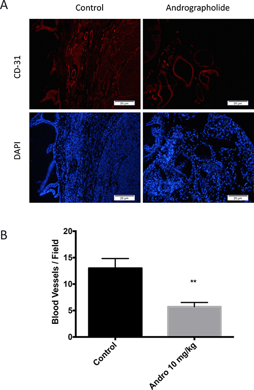 Andrographolide decreased CD31 expression.