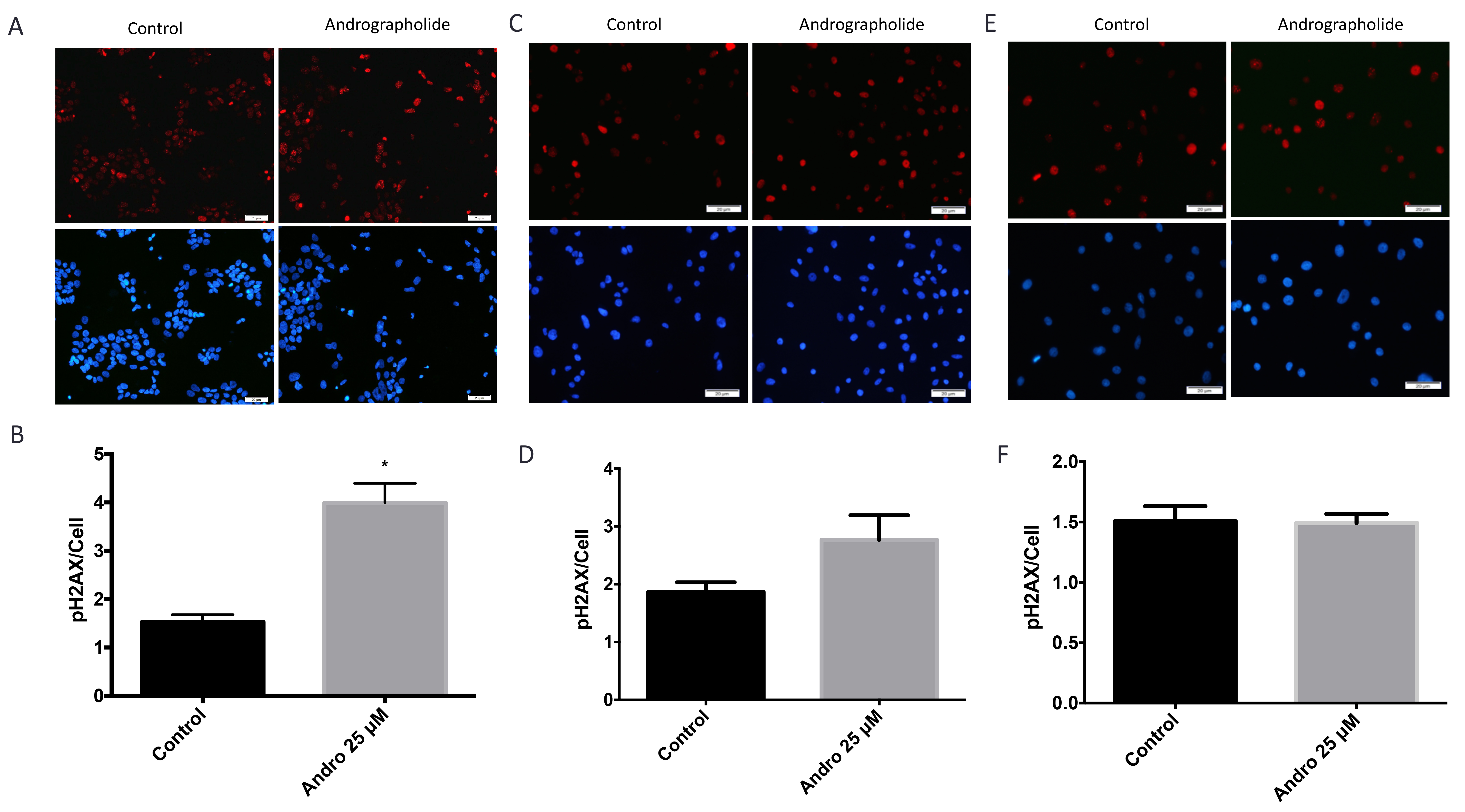 Andrographolide increased expression of phospho-H2AX histone in prostate cancer cells.