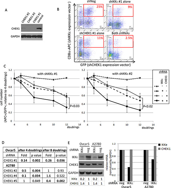 Validation of CHEK1 lethal effects in IKKε-mtached Ovcar5 cells.