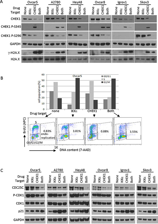 DNA damage response and cell cycle analysis after CHEK1 and IKKε inhibition.