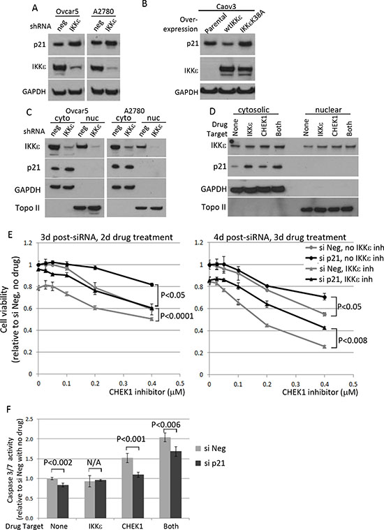 The effect of IKKε manipulation on p21 level and its effect on survival of ovarian cancer cells.