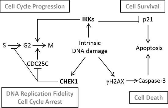 Schematic diagram of a proposed interplay between CHEK1 and IKKε in OC cells.