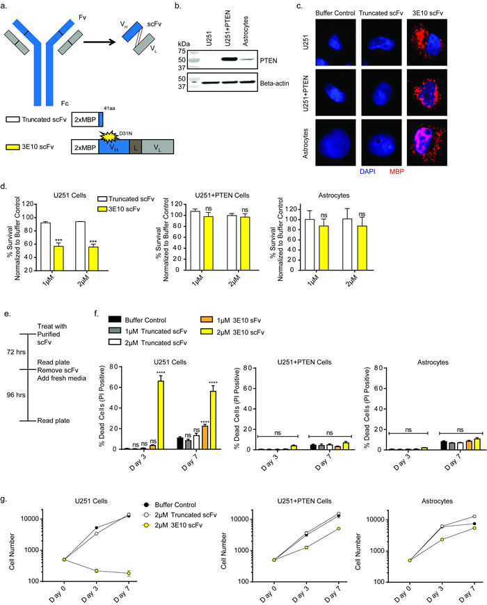 3E10 scFv confers synthetic lethality with PTEN deficiency in a glioma cell line.