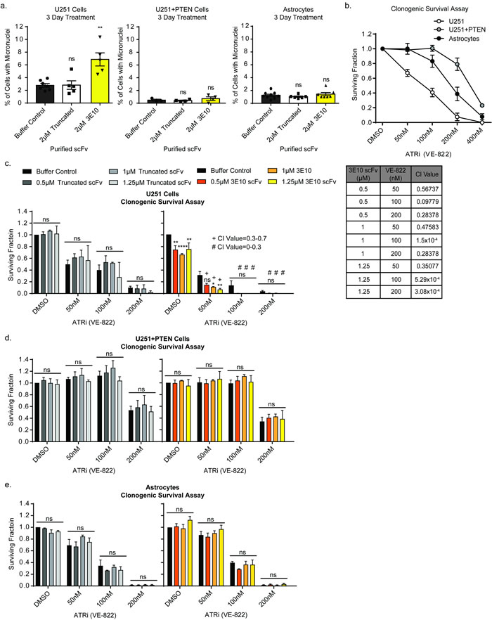 3E10 scFv induces persistent DNA damage which confers synergism with an ATR inhibitor.