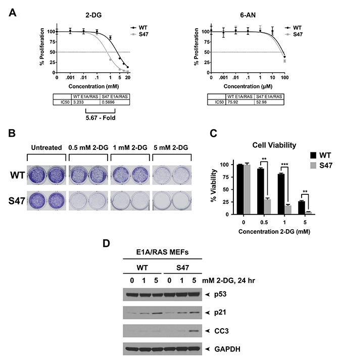 Tumor cells with the S47 variant of p53 show increased sensitivity to 2-Deoxy-D-glucose (2-DG).
