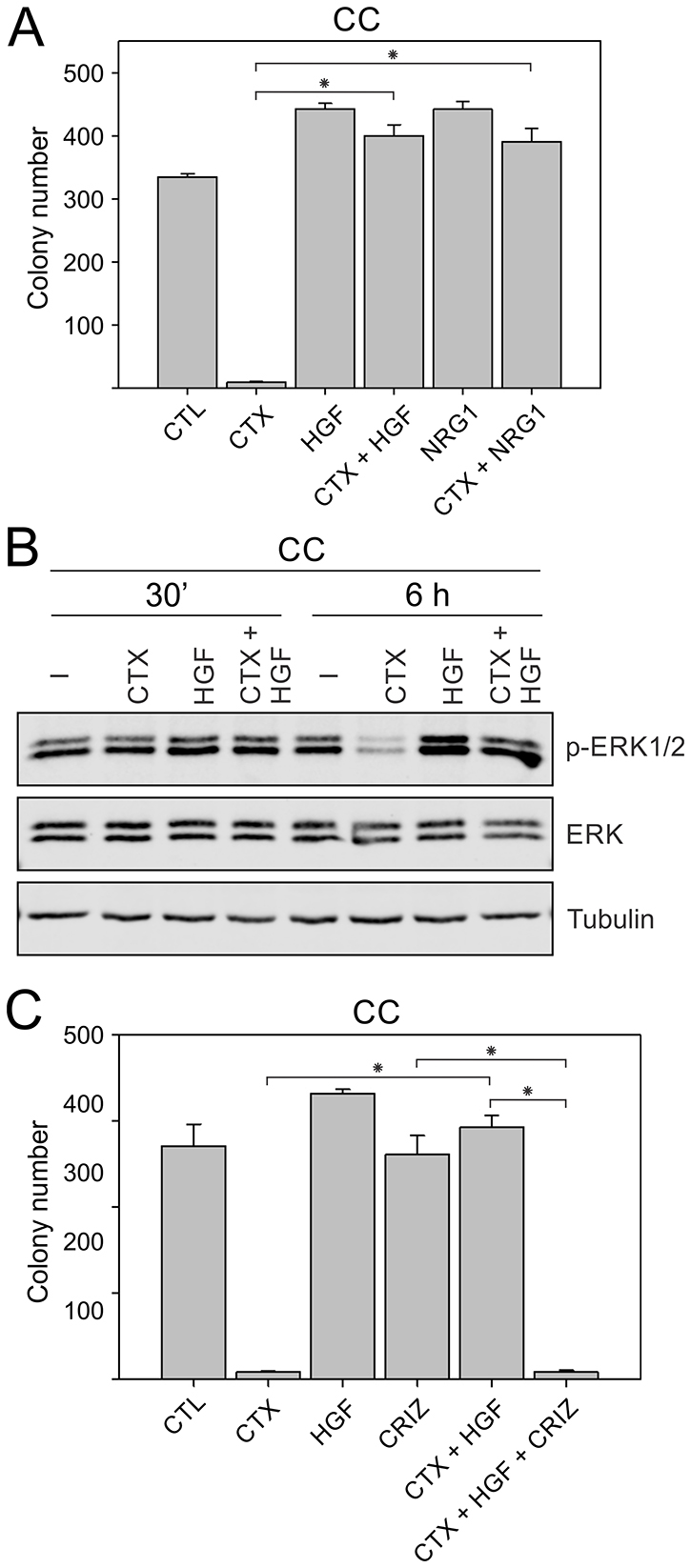 Inducing cetuximab resistance in CC cells by addition of RTK ligands, HGF and NRG1.