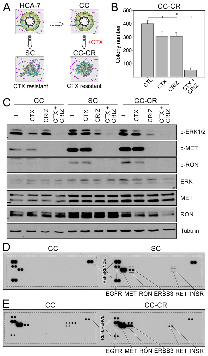Overcoming de novo and acquired mode of cetuximab resistance in CRC by crizotinib.