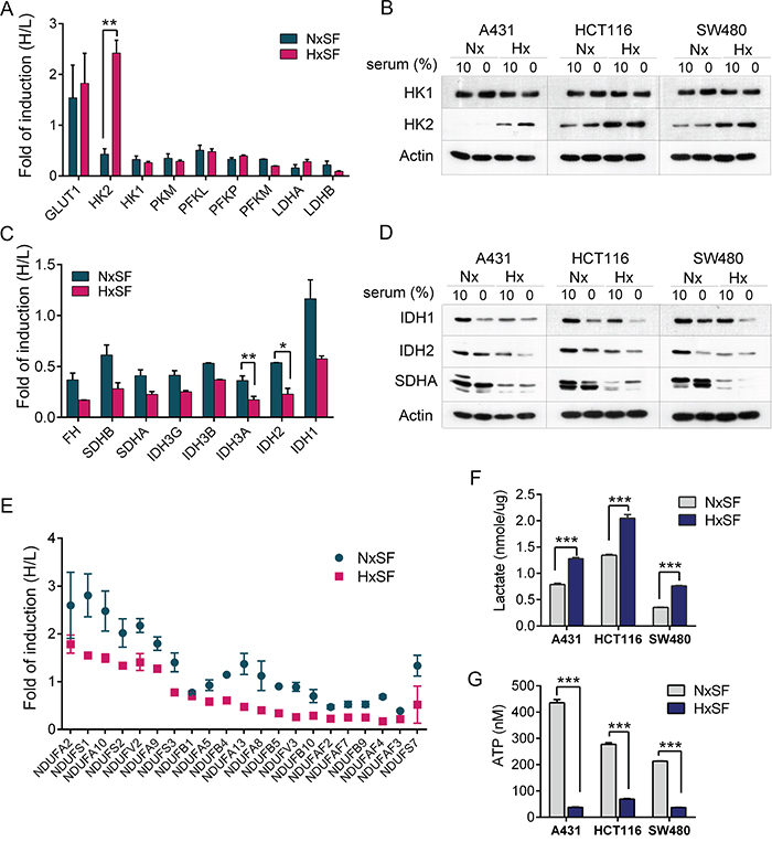 The oxygen and nutrients supplies modulate the expression of key metabolic enzymes in cancer cells.