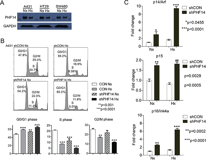Depletion of PHF14 inhibits G1-to-S phase transition.