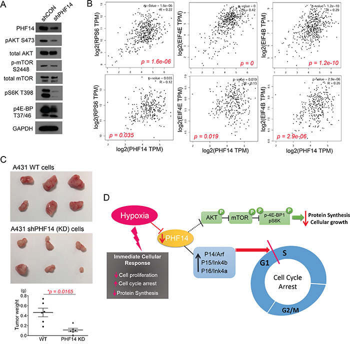 PHF-14 correlates diverse signaling pathway in A431 cells.
