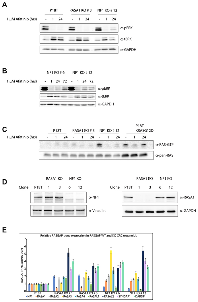 Puromycin selected NF1 knock out CRC organoids show enhanced RAS and ERK activation.