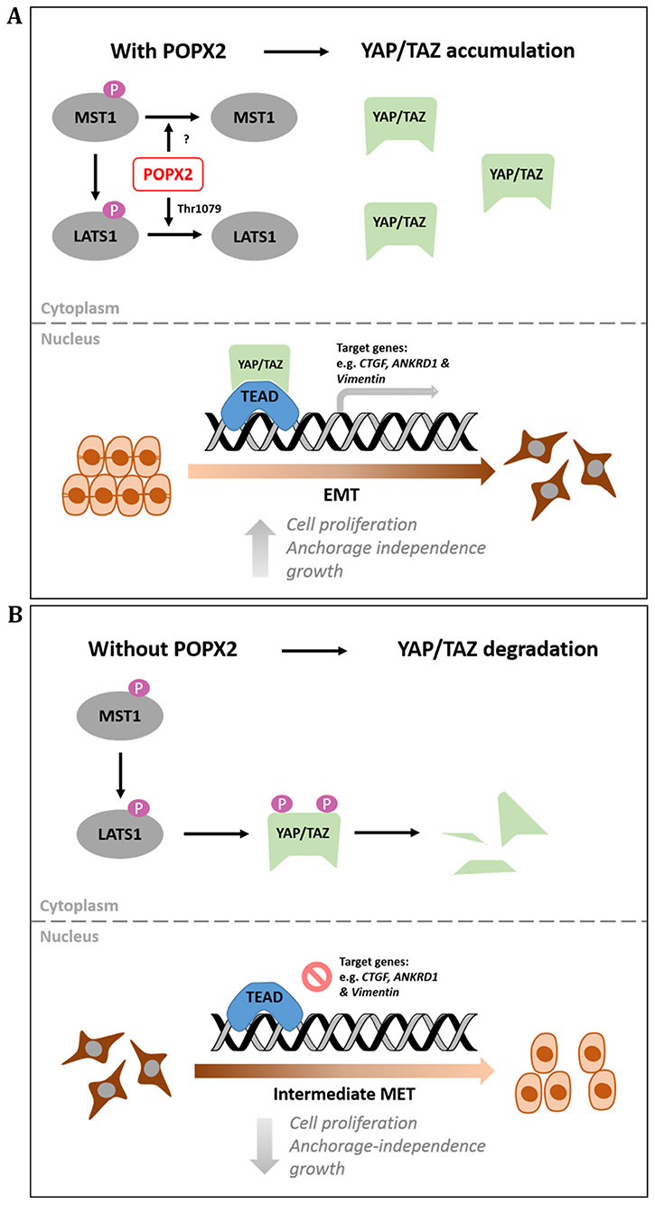 Working model for POPX2 regulation of the Hippo pathway.
