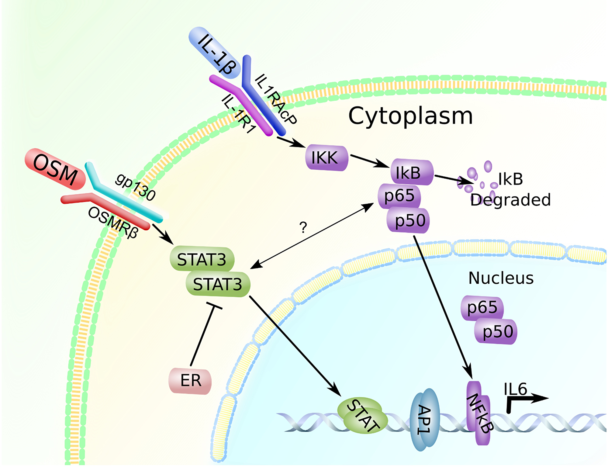 OSM and IL-1β promote IL-6 expression in a breast cancer cell-subtype specific manner.