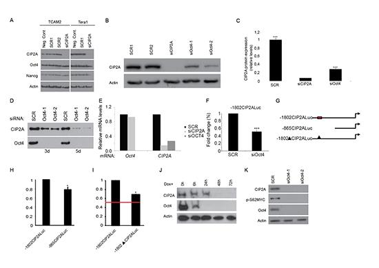 Oct4 regulates CIP2A expression.