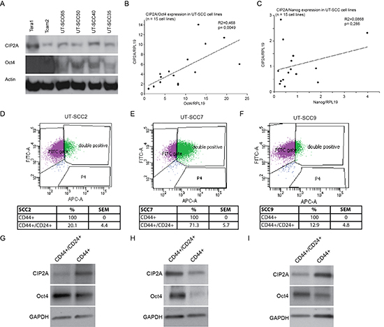 CIP2A and Oct4 are co-expressed in HNSCC cell lines.