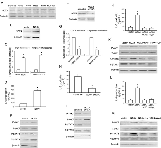 NOX4 stimulates IL-6 expression and JAK1/STAT3 activity in A549 cells via activation of PI3K/Akt pathway.