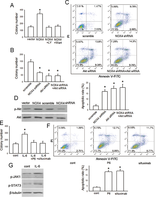 NOX4 and IL-6 promotes proliferation and survival of A549 cells.