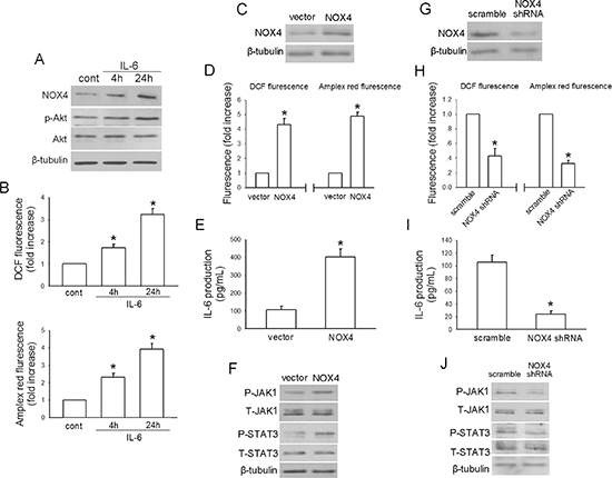 Reciprocal activation between IL-6/STAT3 and NOX4/Akt signalings in H460 cells.