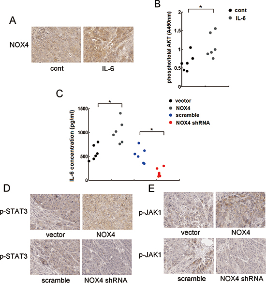 Reciprocal activation of NOX/Akt and IL-6/JAK1/STAT3 signalings in vivo.