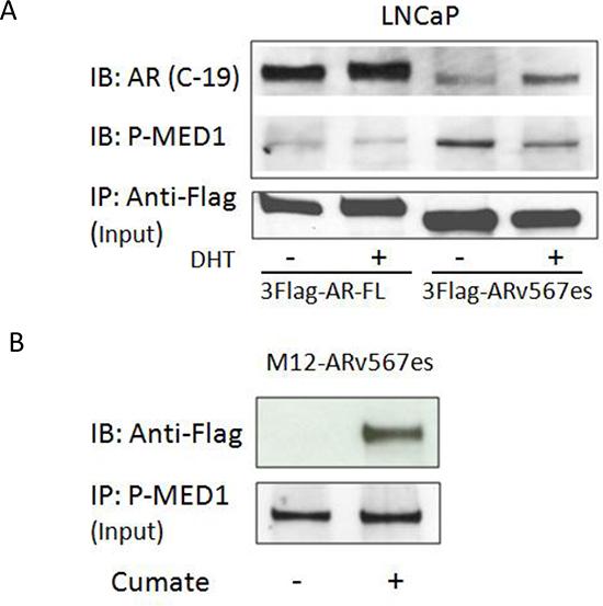 ARv567es could bind p-MED1 independent of full length AR.