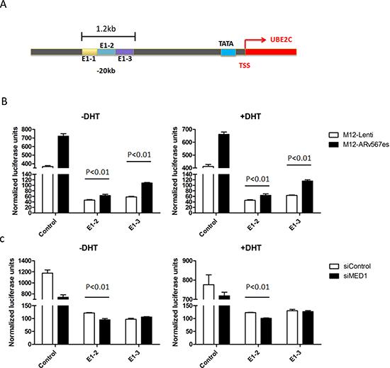 ARv567es Increased UBE2C enhancer transcriptional activities.