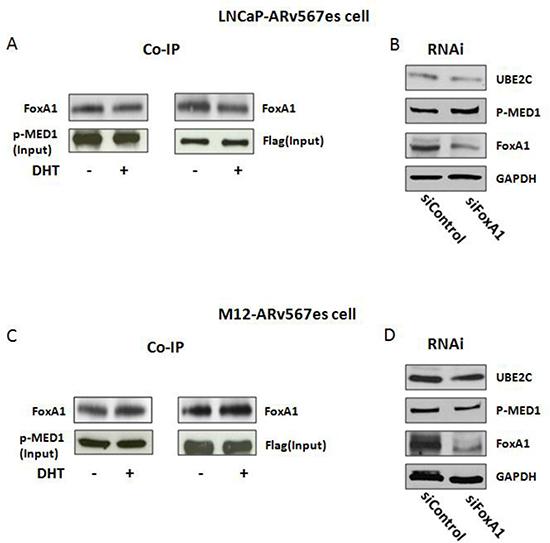 FoxA1 was involved in the ARv567es/p-MED1 transcriptional regulation.