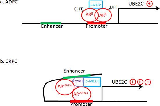 """The p-MED1 switch hypothesis"": Model of ARfl/ARv567es/p-MED1 transcriptional regulation on UBE2C in prostate cancer."