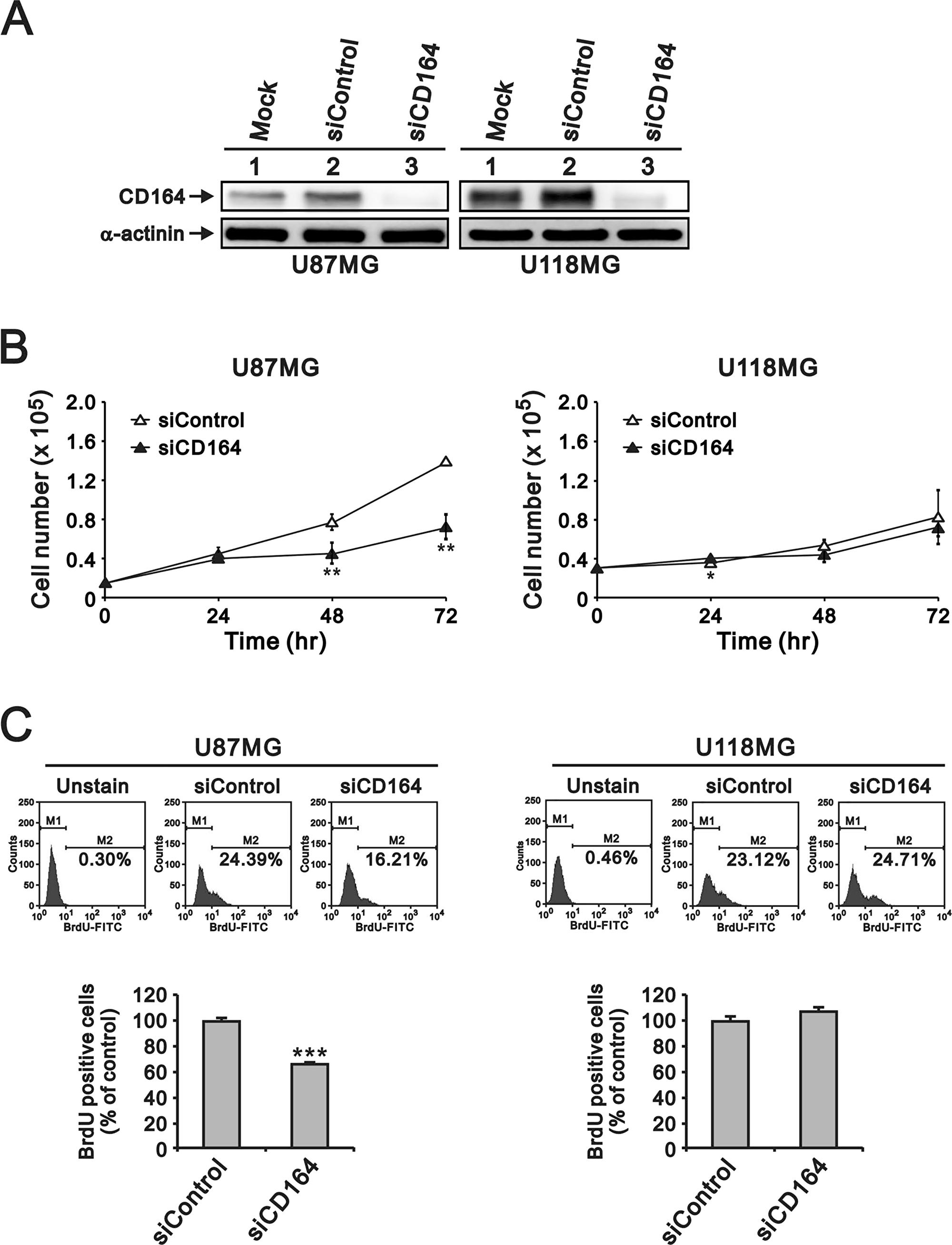Depletion of CD164 expression decreases proliferation in GBM cells.
