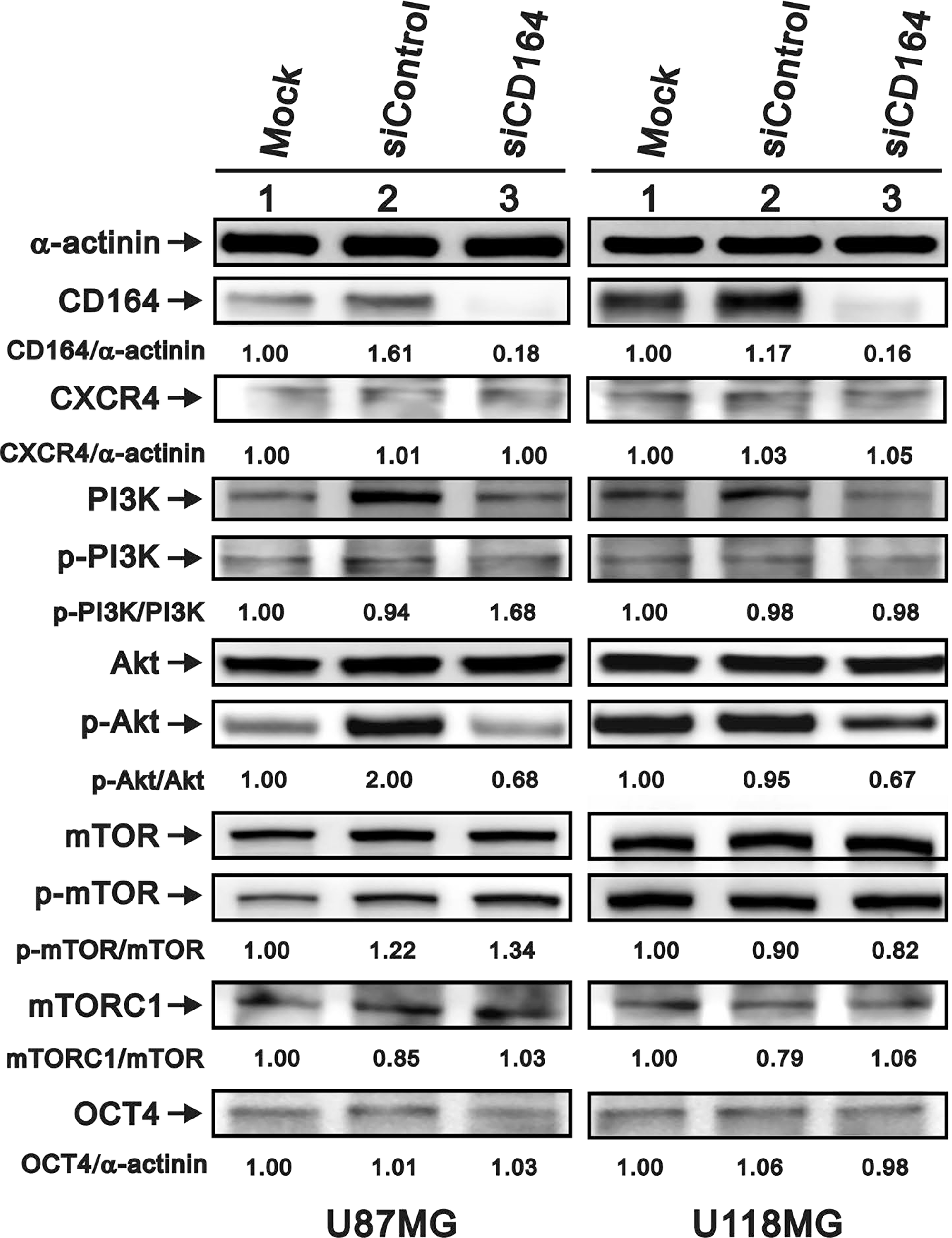 Effects of CD164 knockdown on the CXCR4/PI3K/Akt signaling pathway.
