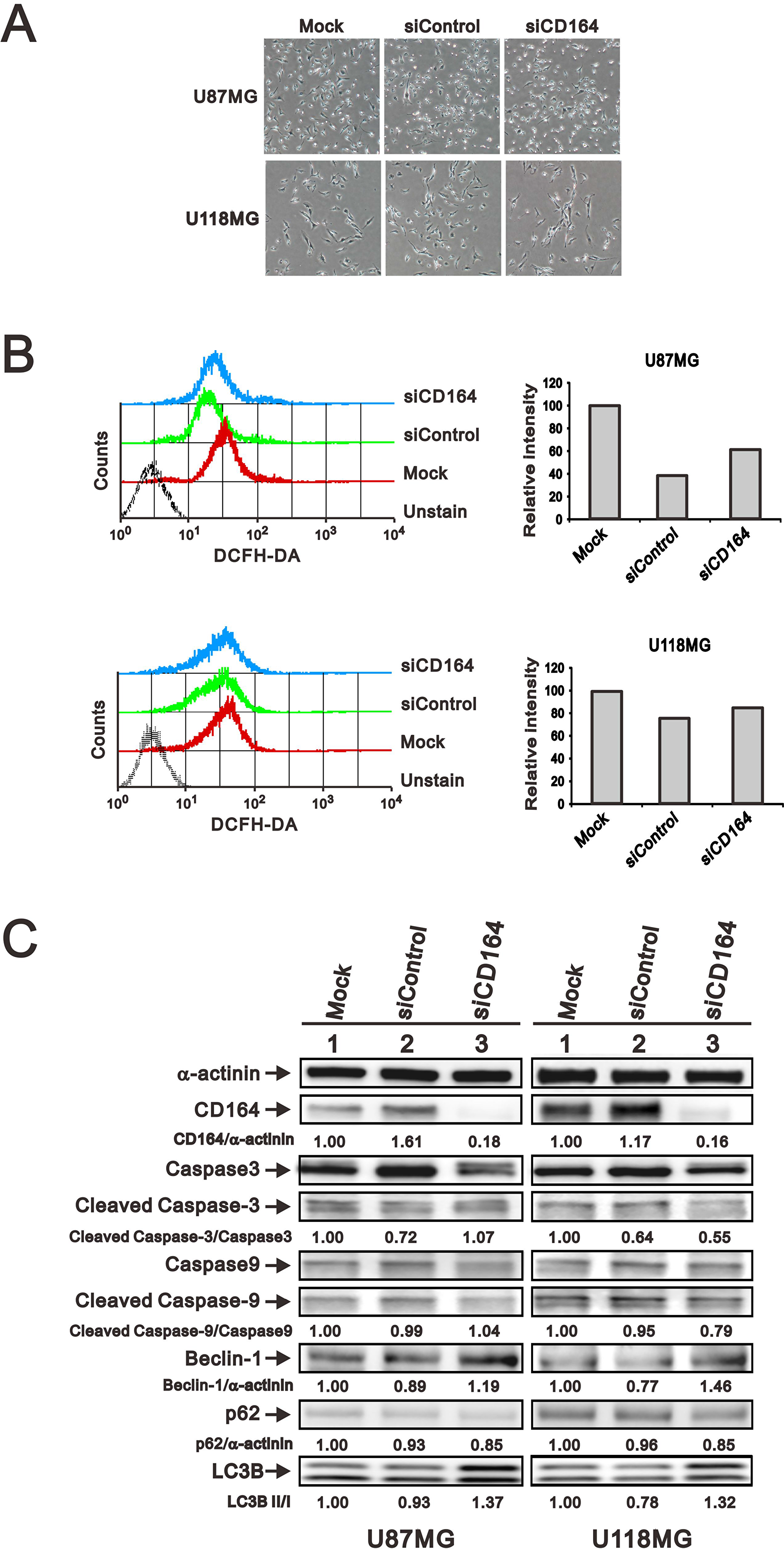 Effects of CD164 depletion on apoptosis, autophagy, and senescence in GBM cells.